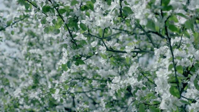 Apple blossom flower, apple tree. White flower, spring atmosphere background. video