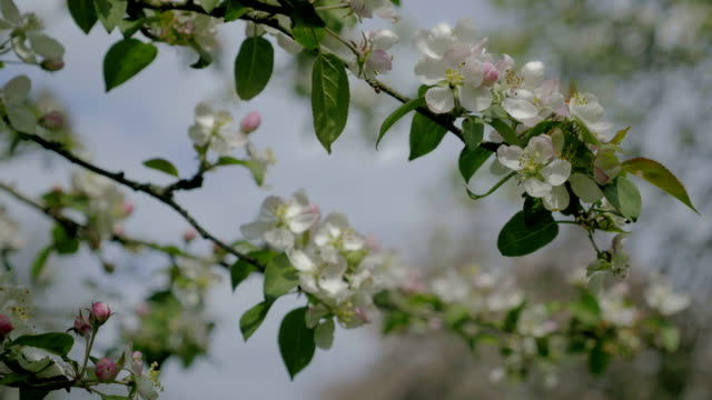 Apple blossom flower, blue sky. White flower, spring atmosphere background. video