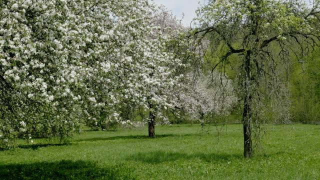 Apple blossom flower tree, blue sky. White flower, spring atmosphere background. video
