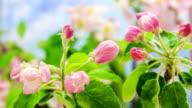 Apple blossom video