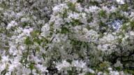 Apple Blossoms video
