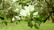 Apple flower in the park. Clean and bright daytime. video
