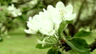 Apple flower. Macro shot. Clean and bright daytime. video