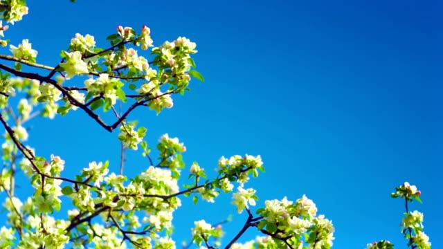 Apple flowers on sky video