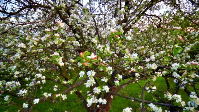 Apple flowers pan video