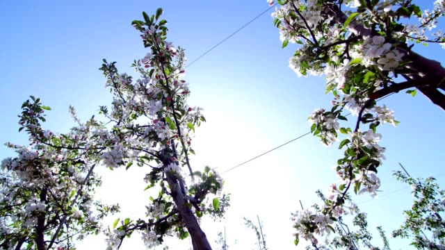 Apple flowers, spring time of beauty, love, youth video
