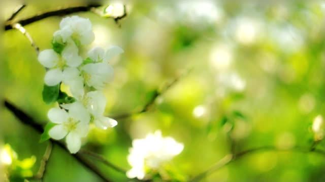 Apple flowers video