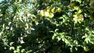 Apple fruits on fruiter tree branches in industrial orchard garden video