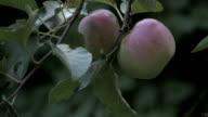 Apple Harvest video