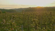 AERIAL Apple orchard at dawn video