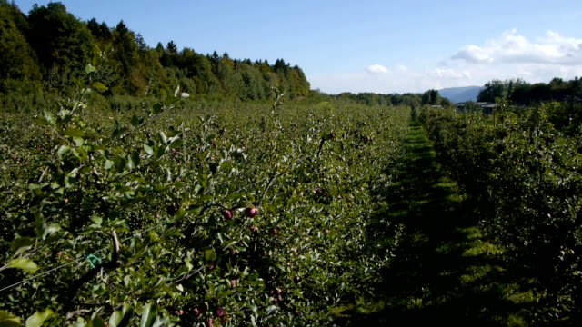 Apple orchard, close aerial view video