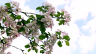 Apple pink blossom branch, trembling on blue and clouded sky background. video