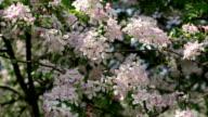 Apple pink blossom twigs, waving on spring light breeze. video