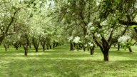 Apple tree alley in the farm. Smooth slider shot. Clean and bright daytime. video