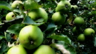 Apple Tree At Harvest video