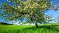 CRANE UP: Apple Tree Blooming video