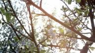 Apple tree blossom video