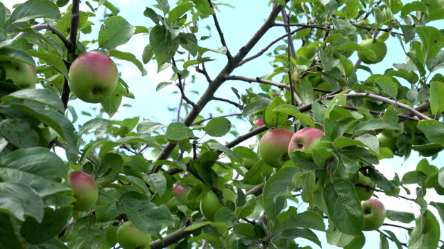 apple tree branch fruit swing on wind in blue sky background. FullHD video