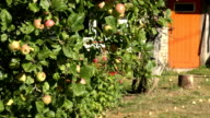 Apple tree branch with ripe fruits in front of rural farm house with orange doors. video
