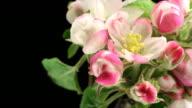 Apple tree flowers blooming over black video