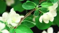 Apple tree flowers blooming video
