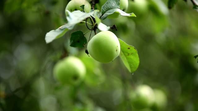 Apple tree harvest, green apples. video
