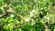 Apple Tree in Spring, Hd Video Panning Right video