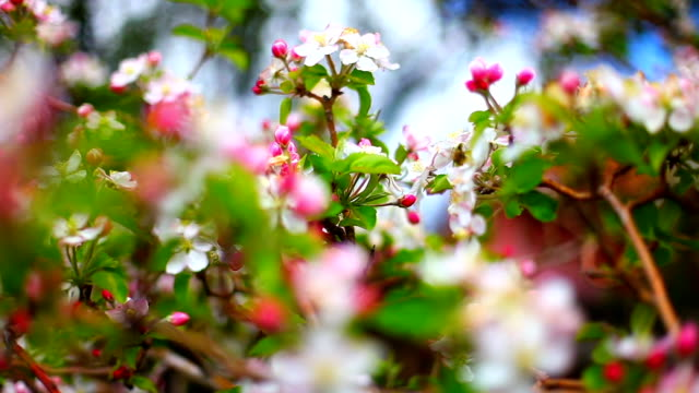 Apple tree in the spring video