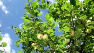 Apple tree on a background of the clear blue sky in slowmotion video