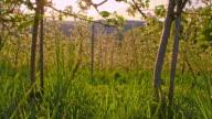 SLO MO Apple tree orchard video