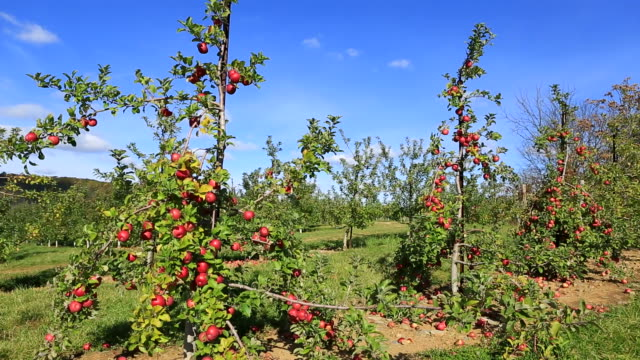 Apple tree video