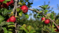 Apple tree video