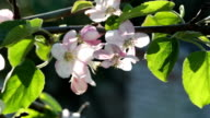 Apple tree with white blossom. Flowers on the branches video