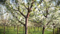 Apple trees blossom video
