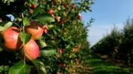 Apple Trees in row video