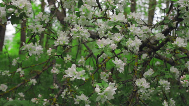 Apple twig with flowers and a bud video