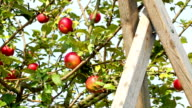 Apples and ladder video