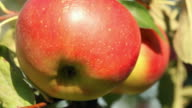 Apples - close up video