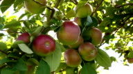 Apples in a Tree video