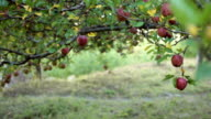 HD Apples on an orchard. video
