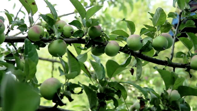 Apples on apple tree branches video