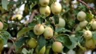Apples on tree breeze P HD video