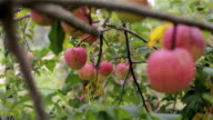 Apples on tree close up rack focus. Red organic ripe apples grow hanging on tree branch in orchard garden countryside ready to harvest. Eco farming local business homegrown fruits healthy vitamin diet video