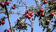 Apples on tree video