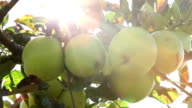 Apples with sunlight video