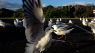SLOW MOTION CLOSE UP: Approaching a small group of cute seagulls taking off video