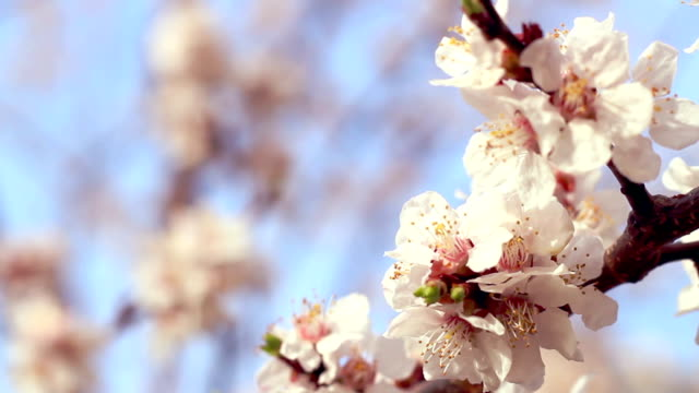 Apricot blossom. Closeup. Apricot flowers on branch of apricot tree video