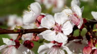 Apricot blossom close-up video
