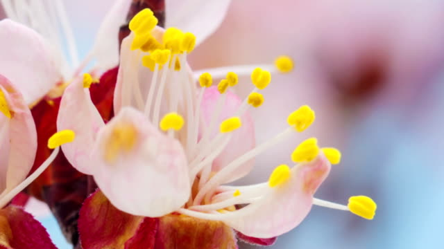 Apricot flower blooming in a time lapse Hd 1080 video video