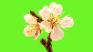 Apricot flower blooming  with an alpha channel video